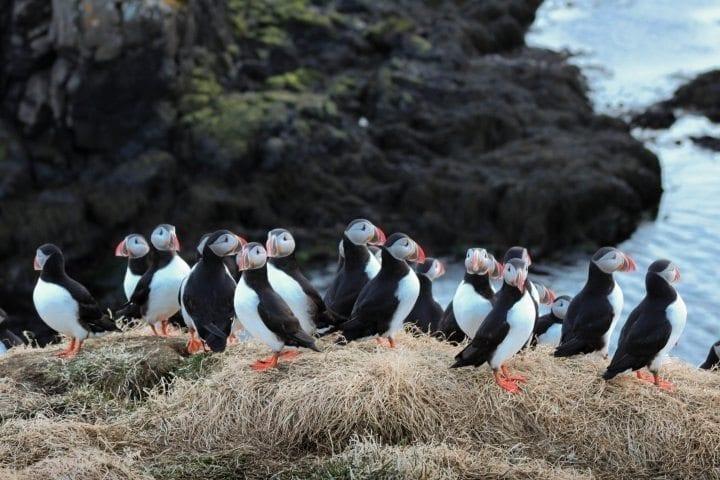 Borgarfjörður Eystri heißt den Papageitaucher willkommen
