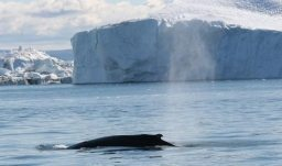 Walsafari zwischen den Eisbergen ab Ilulisat