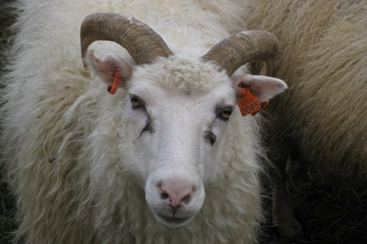 Schafabtrieb auf Island – Cowboy-Stimmung am Rande des Polarkreises