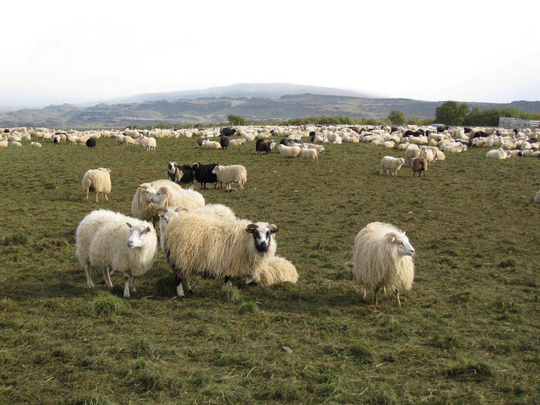 Schafe auf der Weide Copyright: C.B.